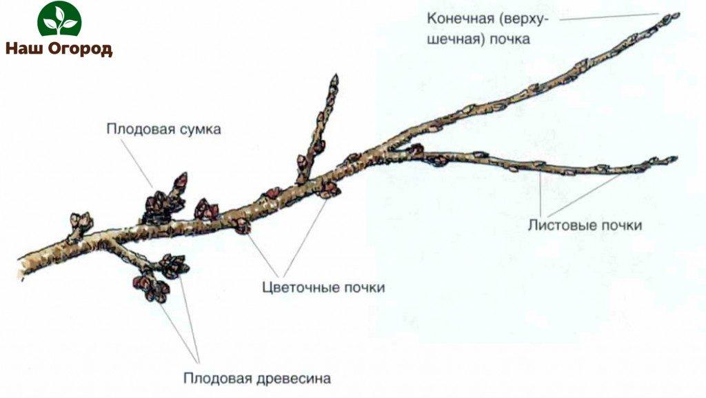 описание плодовых деревьев