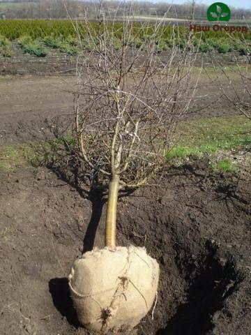 Пересадка плодовых деревьев