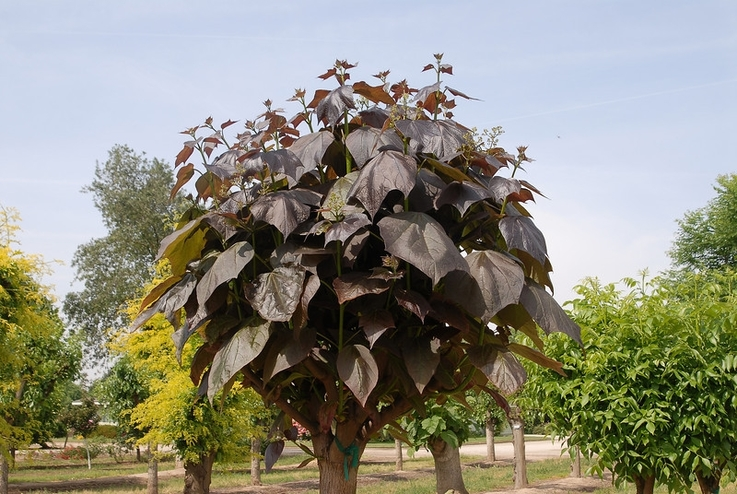дерево катальпа вид Пурпуреа