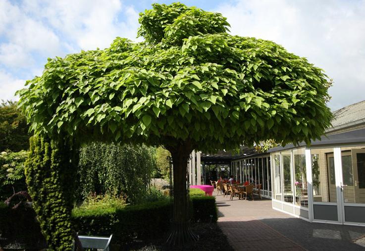 дерево катальпа Нана