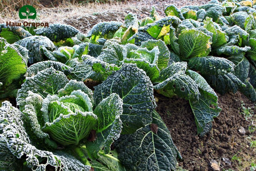Богатый здоровый урожай Савойской капусты