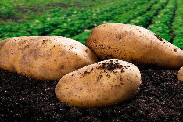 Препарат командор для обработки картофеля