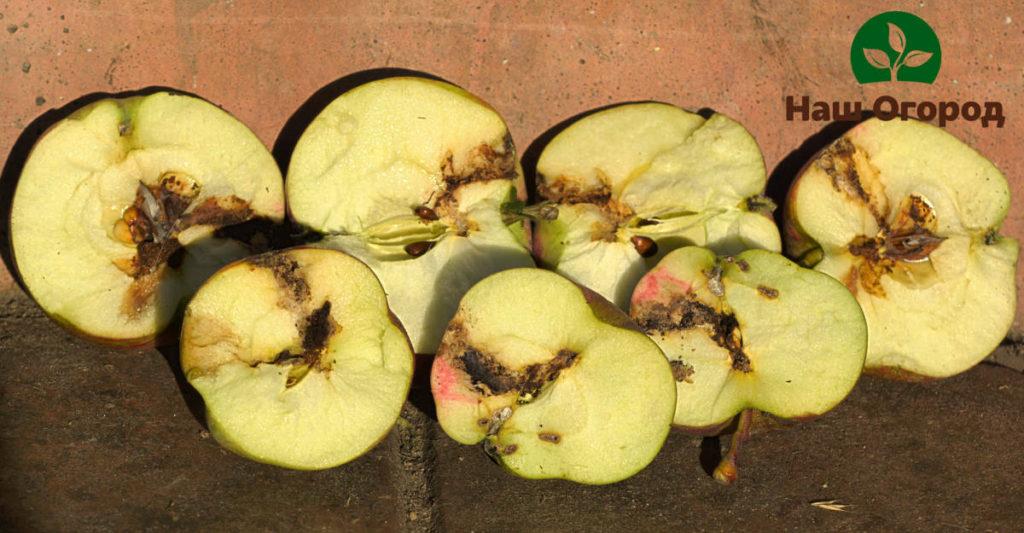 Яблоневая плодожорка с легкостью может испортить Ваш яблочный урожай