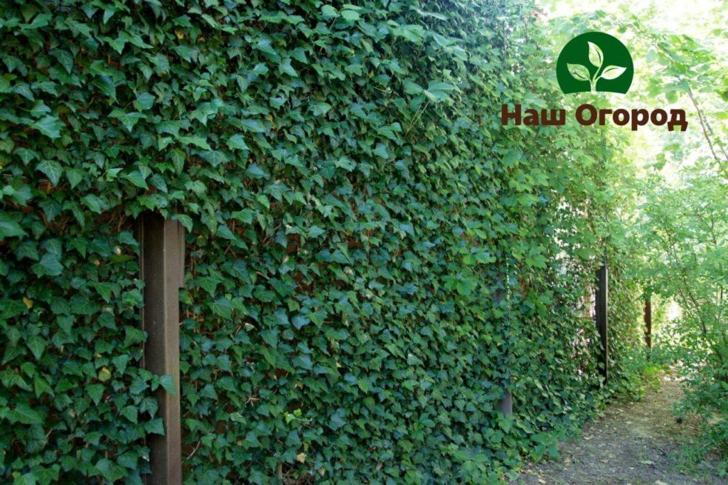 Плющ — это все время зеленое и не требующее щепетильного ухода растение.
