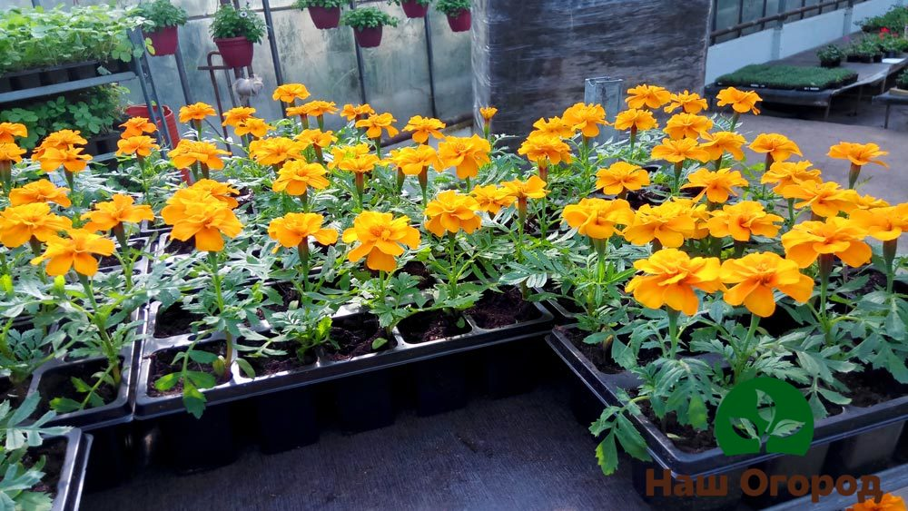Рассада бархатцев достаточно не прихотлива к климатическим условиям и способна дать пышные цветы и на солнце, и в тени