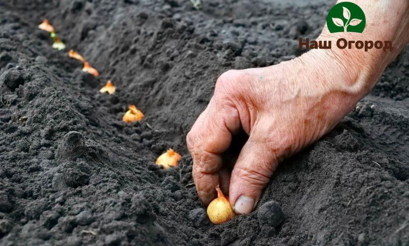 Лук-севок принято сажать рядками в заранее подготовленные под посадку бороздки