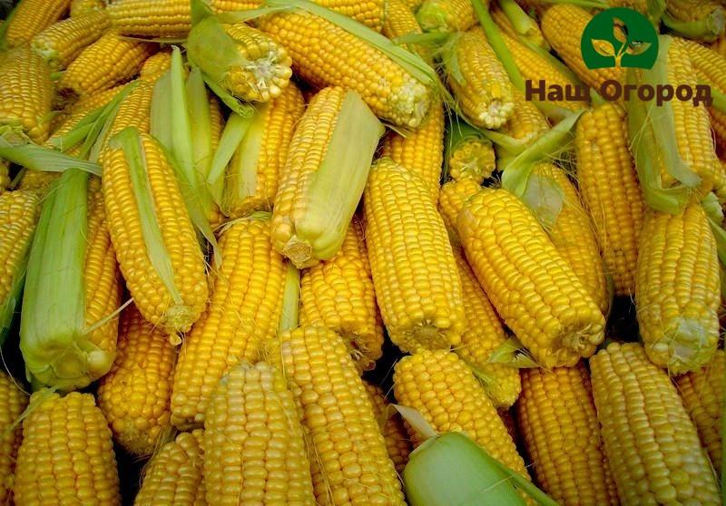 При правильном уходе можно добиться богатого урожая здоровых початков кукурузы