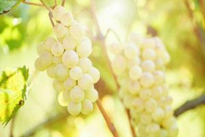 виноград описание