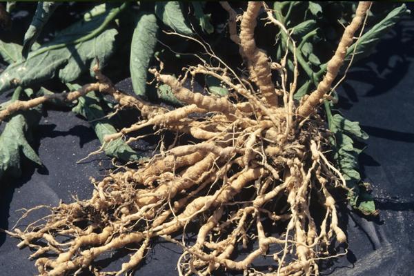 Галловая нематода: вредители огурцов в открытом грунте и теплице