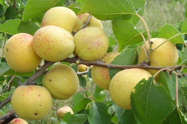 абрикос водолей фото