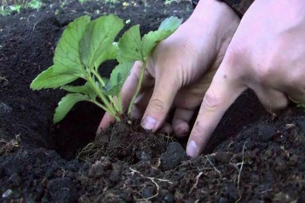 Посадка клубники рассадой, подготовка места