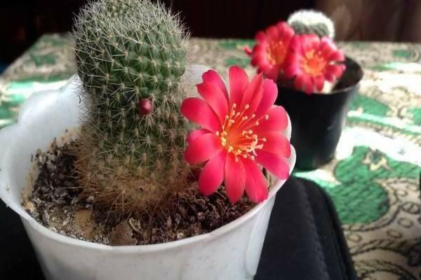 цветение кактуса фото