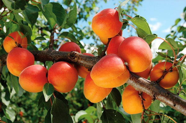 выращивание абрикосов