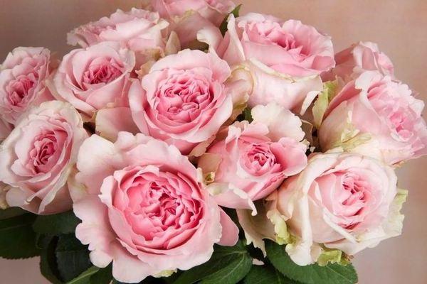 Пионовидные розы фото, перечень сортов