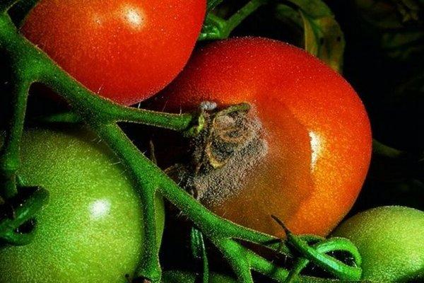 Серая гниль на томатах: коротко про томаты