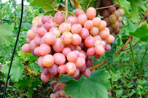 Виноград Ливия: описание сорта, полная характеристика