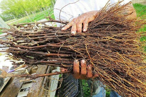 какая корневая система у винограда