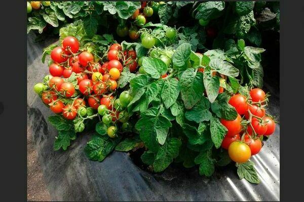 Низкорослые помидоры: лучшие сорта, как выбрать подходящий сорт