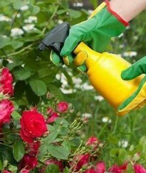 Обработка роз медным купоросом осенью пропорция