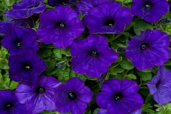петуния крупноцветковая