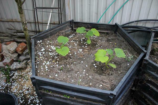 Посадка тыквы в грунт на компостную кучу