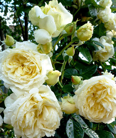 Роза плетистая Эльф - описание, агротехника