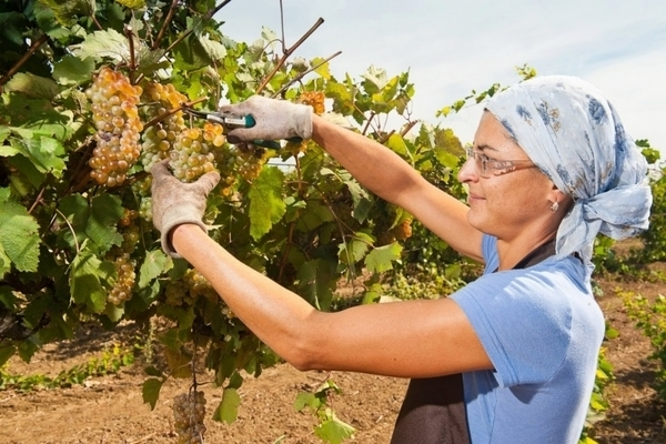 лидия виноград описание фото