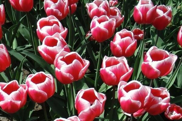 Махровые тюльпаны Вироза