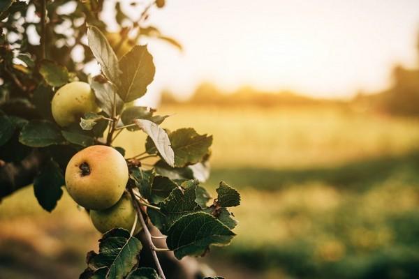 беркутовское яблоня описание