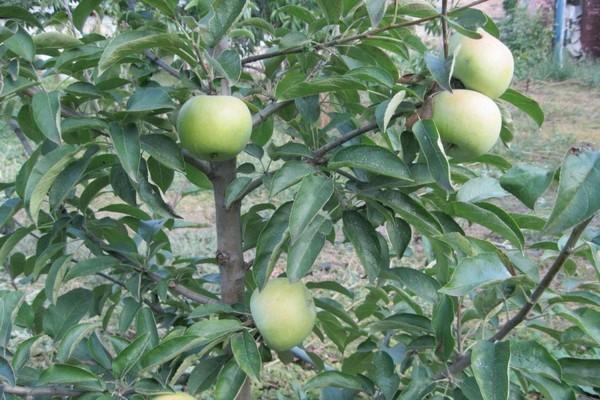 сорт яблок семеренко