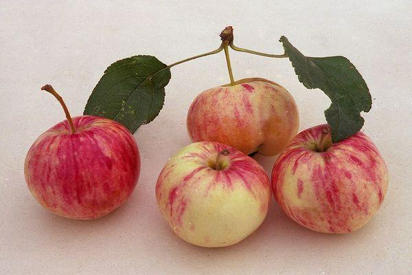 московская грушовка яблоня фото