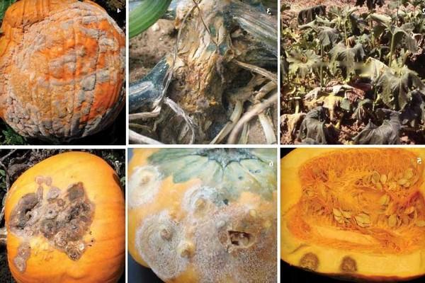 болезни тыквы +в открытом грунте