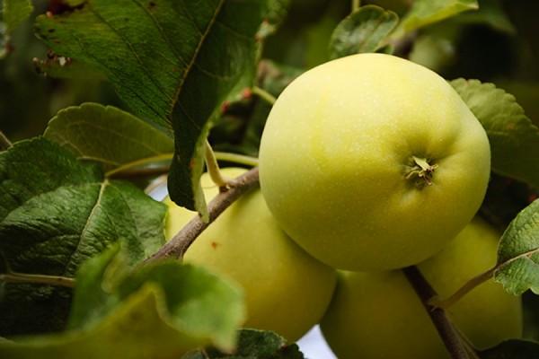 хит-парад сортов яблонь