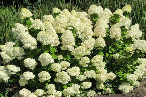 Гортензия запах цветов