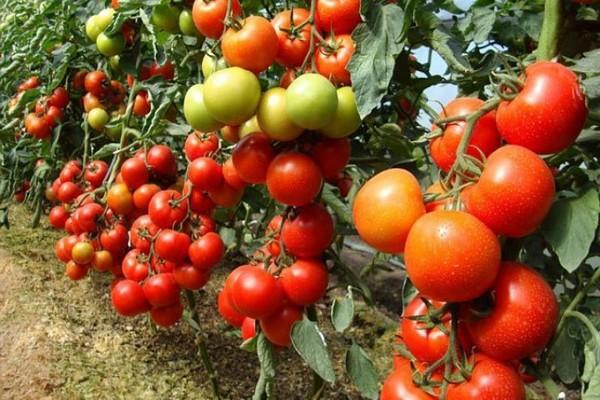 томат настенька отзывы