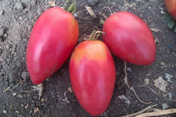 томат настенька описание