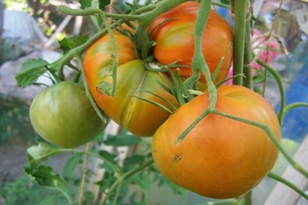 сорт помидор отзывы