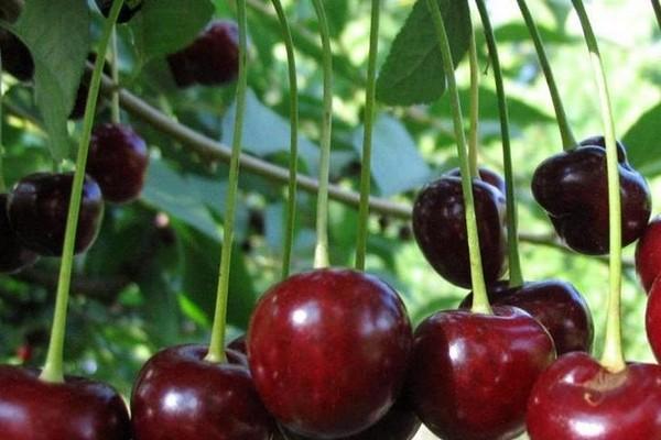сорт вишни