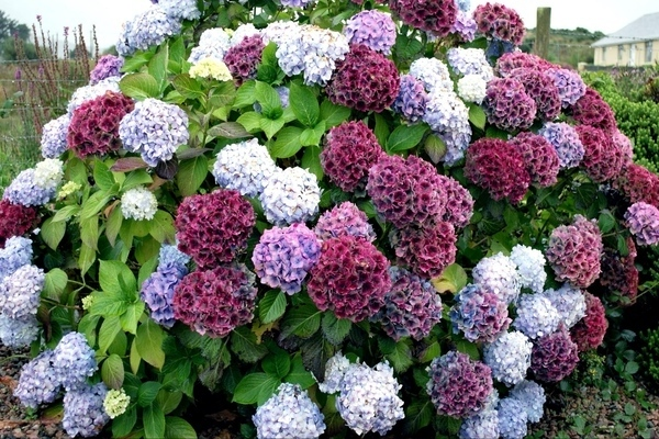 цветения гортензии