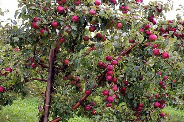 сорт яблони вишневое