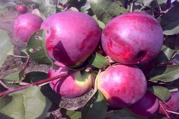 вишневая яблоня фото
