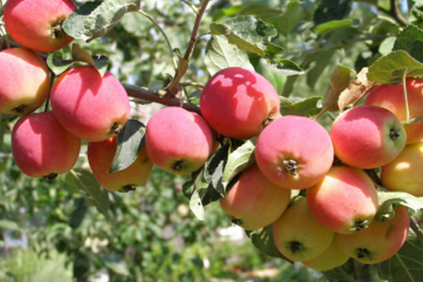 Яблоня Толунай — описание сорта, фото, отзывы