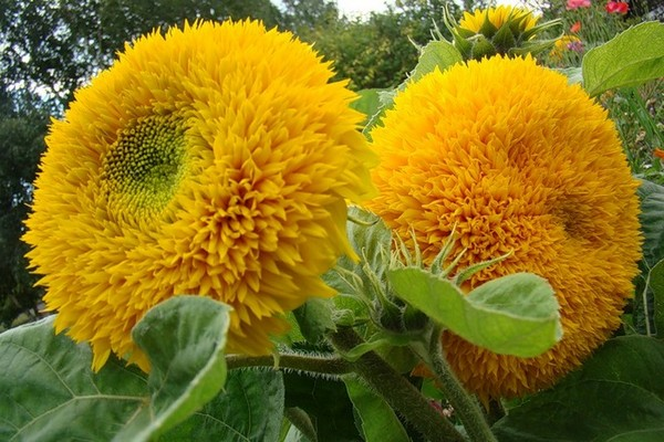 гелиантус цветок