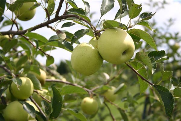 Яблоня Черное дерево фото