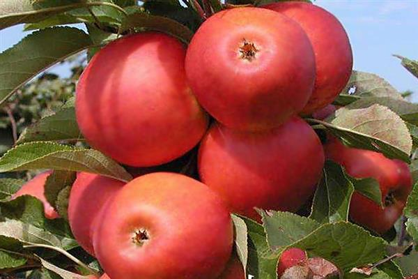 Яблоня «Дарена» фото
