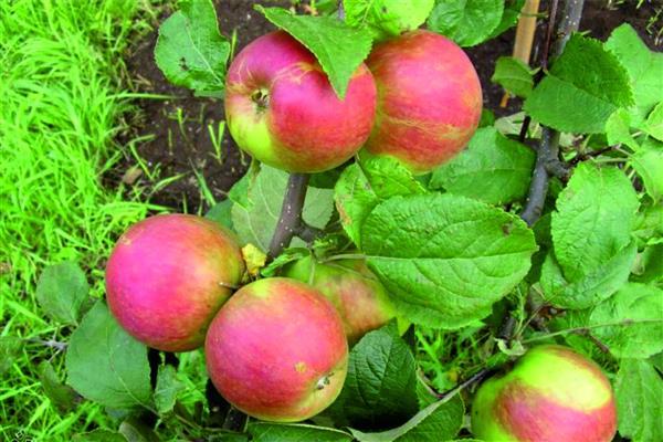 Яблоня Орловское полесье фото