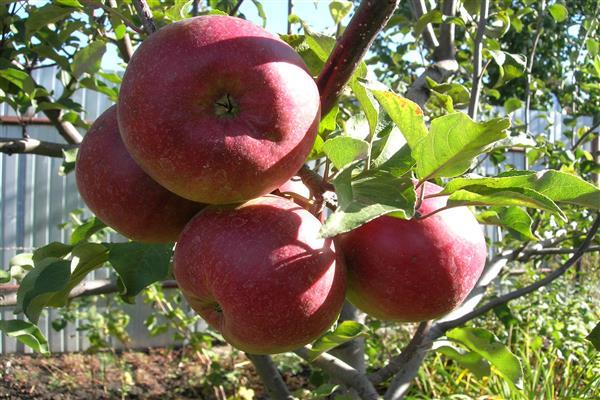 Яблоня Скрыжапель фото