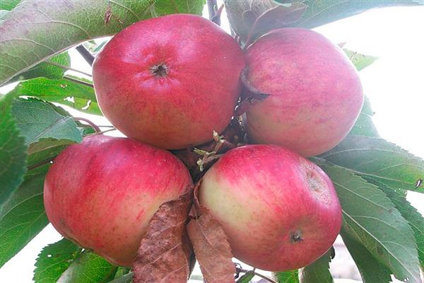 Яблоня «Слава Приморья» фото