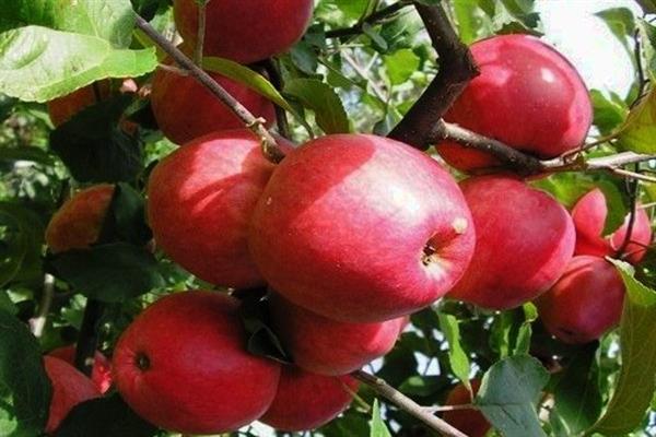 Яблоня «Кулундинское» фото