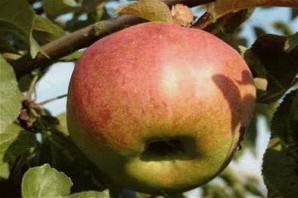 Яблоня «Молодежный»